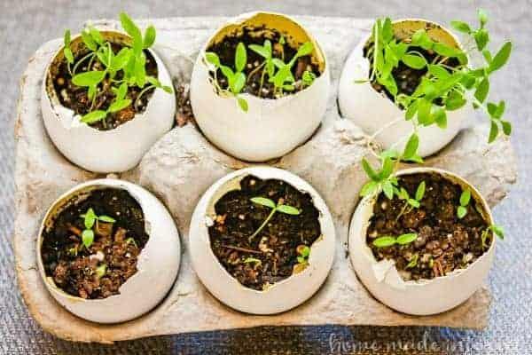 Eggshell herb garden